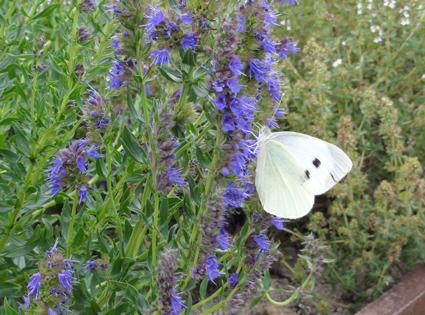 hysope papillon